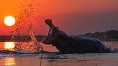 Hippo in Okavango Delta (Joma516) Tags: africa red orange sun rot water sonnenuntergang sundown delta afrika hippo botswana splash okavango nilpferd flusspferd