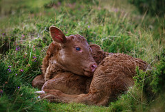 2 (Robbie Forrester Photography) Tags: red cute cow young shy innocence curious ruby interested calf dartmoor