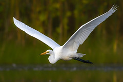 Great Egret (Phiddy1) Tags: ontario canada birds whitby egret greategret