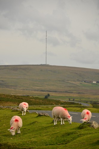 Sheep & radio mast