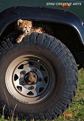 His mother is tired of him fooling around! (WhiteEye2) Tags: africa kenya wildlife tire safari vehicle cheetah masaimara cheetahcub safarivehicle