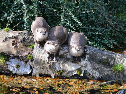 Trio of otters