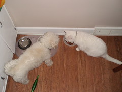 Charlie and Mystic (universalcatfanatic) Tags: wood food dog cats brown white green water pen cat silver vent floor eating empty hard bowl want charlie eat bichon frise cupboard mystic hardwood jealous wanting cupboards pushy