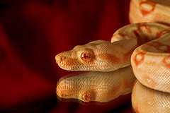 Red Reflection (Brian-D) Tags: red reflection canon mirror reptile snake tail sigma os boa albino morph constrictor hypo 150mm