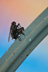 Vuelo de cabotaje (Moquegua, Perú) (el Ciro Nico) Tags: naturaleza metal union alas moscas intimidad coito apoyado explicito copular