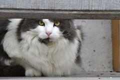 Curioso come un Gatto (ClaudioBelletti65) Tags: cat chat gatto gatti animali amico