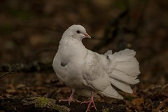 White Dove (leppre) Tags: autumn ireland leaves forest dove autumnleaves forestfloor donegal muff inishowen whitedove lisnagraforest autumn2014