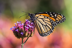 Monarch (PA062577) (Michael.Lee.Pics.NYC) Tags: park newyork butterfly garden insect feeding bokeh central conservatory monarch nectar milkweed