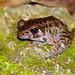Rough-sided Frog (Pulchrana glandulosa)