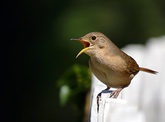 Troglodytes musculus (Aisse Gaertner) Tags: brazil bird troglodytes birdwatching birdwatcher musculus hx400