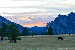 Cows and the Mountains