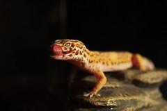 Out of Darkness (endriuthomas) Tags: drago dragon dragons geco leopardino leopard gecko macro reptile rettile