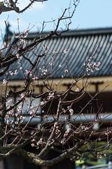 Hiroshima Castle (hirorin2013) Tags: 広島城 広島城二の丸 神社仏閣城郭 ウメ 木 植物 hiroshimacastle hiroshimacastleninomaru prunusmume 広島市 広島県 日本 jp