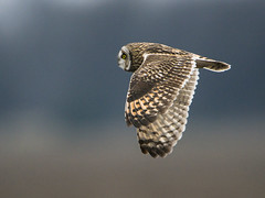 Short-eared Owl Cruising South (Thomas Muir) Tags: asioflammeus tommuir art nikon 600mm d800 woodcounty bowlinggreen flying hunting animal outdoor wildlife thomasmuir owl