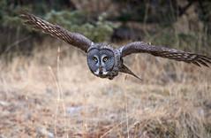 Great Grey Owl_5 (Archie Richardson) Tags: greatgreyowl alberta
