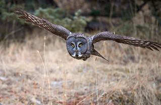 Great Grey Owl_5