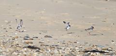 Hooded Plovers 1 (aaardvaark) Tags: 201702221d9866hoodedplover29x2928x13 hoodedplover thinornisrubricollis capeconran vic australia threatened