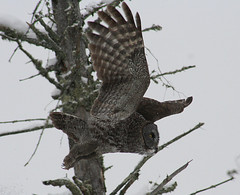 #79 GGO Chase, Part 8, Great Gray Owl, Strix nebulosa, Saint Louis County, Meadowlands  Minnesota, Sax-Zim Bog, Photo by Wes (wesbird72) Tags: greatgrayowl strixnebulosa saintlouiscounty meadowlandsminnesota saxzimbog photobywes gray great grey owl feather feathers feathered wing wings winged fly flys flies flier talon tree trees fir firtree firtrees snow ice icy snowy frost frosty cold colder coldest eye eyes tail