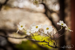 Dogwood in Nashville (mphelps311) Tags: nashville flowers trees tennessee spring bokeh beyondbokeh