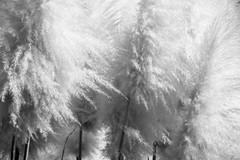 pampas grass (Greg Rohan) Tags: monochrome blackwhite blackandwhite bw plants plant nature grass pampasgrass sydney marrickville photography 2017 d7200 texture
