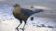 boat_tailed_grackle_female2