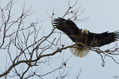 Landed (Man_K5) Tags: eagle baldeagle sky usa maryland scenic bird conowingo darlington bif birdinflight nikond7000 sigma150500 telephoto wildlife raptor