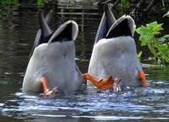 What Mallard ducks think of photographers ! (PSParrot) Tags: mallard duck mooning