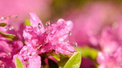 pink fantasy (christophe.laigle) Tags: rose bokeh colours xf60mm pluie gouttes fantaisie fraîcheur droplets christophelaigle raindrop fleur macro pink rhododendron fuji nature couleurs drops xpro2 fantasy flower ngc