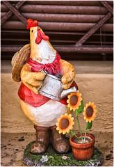 La Gallina de Delia (Delia's Gen) (SamyColor) Tags: canon20d canoneos28105usm gallo rooster