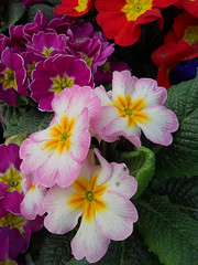 Polyanthus (Primrose) DSCN0675mods (Andrew Wright2009) Tags: flowers plants garden cultivated polyanthus primrose pink red