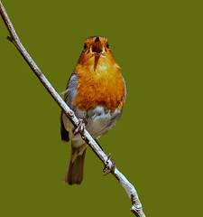Eurasian Robin  ( erithacus rubecula ) - Singing his heart out !! (Clive Brown 72) Tags: singing male territorial spring song bird wales local trusting melody robin eurasianrobin erithacusrubecula