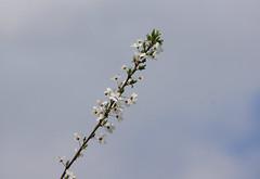 Spring :-) (Jurek.P) Tags: spring blossom blooming tree nature warsaw poland jurekp sonya77