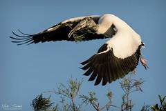 Wood Stork (Nick Scobel) Tags: wood stork mycteria americana florida everglades threatened endangered species wildlife