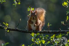Red Squirrel (speedway_sam) Tags: squirrel redsquirrel canon canon7d 7d eoscanon eos clunyhousegardens samsonphotography