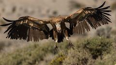 126.2 Vale Gier-20170406-J1704-51492 (dirkvanmourik) Tags: buitreleonado corvisser eurasiangriffon gypsfulvus ineziatoursgierenfotografiereisapril2017 spanje valegier vogelsvaneuropa bird