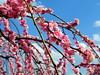 農業センター delaふぁーむ⑧ しだれ梅(7) (ebi-katsu) Tags: olympus pen epm2 農業センター delaふぁーむ weepingplum plants plum plumblossom flower tree しだれ梅 枝垂れ梅