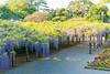 DSC_1551 (sayo-tsu) Tags: 藤 wisteria 牛島のフジ 春日部市 埼玉県 kasukabe saitama 特別天然記念物
