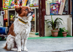 Sad (MashrikFaiyaz) Tags: flickrunitedaward dog animal expression india darjeeling street city urban cityscape conceptual nikon d5300 travel exploration spring afternoon dusk sunlight sunset asia march shop sitting brown colorful