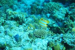 Pesce farfalla (Landersz) Tags: philippines filippine coron palawan club paradise snorkeling turtle shark clownfish nemo dugong landersz canon 5dmk3 nimar gopro hero5