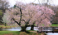 Puffy Tree (chantsign) Tags: tree pink park spring landscape bridge water pond blossom