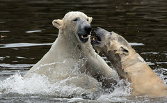 polarbear Ouwehands BB2A3298 (j.a.kok) Tags: polarbear beer bear polarbaer ijsbeer arctic predator mammal zoogdier ursusmaritimus pool noordpool ouwehands ouwehandsdierenpark ouwehand ouwehandszoo