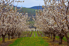 apricot orchard, Mosier, OR (Terra Nova Images) Tags: mosier oregon portland pacificnorthwest apricots floweringtrees spring springtime blooms blossoms flowers