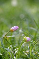 'Lilac Wonder' (l3ooni) Tags: lilacwonder tulpe l3 l3ooni boni ka karlsruhe natur stadtgarten zoologischerstadtgartenkarlsruhe zoo pflanze tulip felsentulpe kretischetulpe monokotyledonen lilienartige liliales liliengewächse liliaceae lilioideae tulpen tulipa kandiatulpe