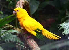 Golden Parakeet (Guaruba guarouba) (Mahmoud R Maheri) Tags: bird goldenparakeet guarubaguarouba forest amazon brazil parakeet yellowbird iguassu