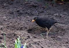 Posing (herman hengelo) Tags: blackbird garden merel tuin hengelo thenetherlands
