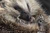 Hedgehog (DanRansley) Tags: britain danransleyphotography england erinaceinae greatbritain uk animal headgehog mammal nature wildlife