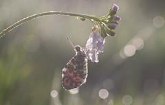oranjetipje (Anthocharis cardamines) (peter nijland) Tags: twente dinkelland almelonordhornkanaal vlinders nederland nature natuur buterfly dauw dew tamron 90mm macro