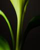 Erin go Bragh! (Alicante, Spain 2011) (Alex Stoen) Tags: alexstoenphotography alicante canoneos5dmarkii canonspeedlite580exii collection creativefocus crecimiento details ef24105f4lisusm ef25ii ef25iiextensiontube enfoque enfoquecreativo españa extensiontube frescura fresh geotagged green growth naturalbeauty plant planta sharpness stpatricksday greenthumb macro macrophotography