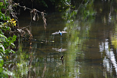Kingfisher in flight (Allan Durward) Tags: bird kingfisher inflight flying kingfisherinflight wildlife nature ayr ayrshire southayrshire scotland slaphouseburnayr belleisle seafield flyingkingfisher