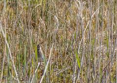 9Q6A5159 (2) (Alinbidford) Tags: alinbidford alancurtis brandonmarsh greyheron greylaggoose snipe moorhen yellowwagtail